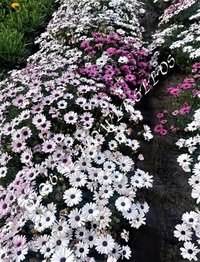 Osteospermum Eclonis Mix