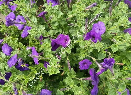 Petunia Nc Blue