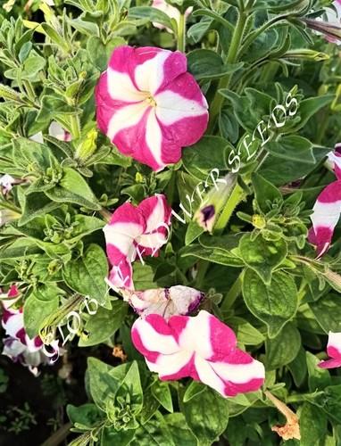 Petunia Hybrida Star With Star