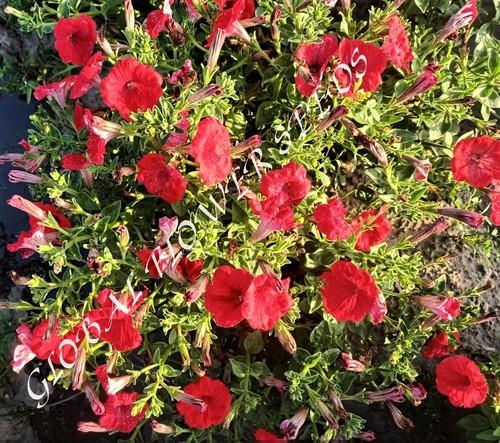Petunia  Nc Red