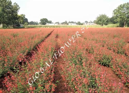 Salvia Cocenia Red