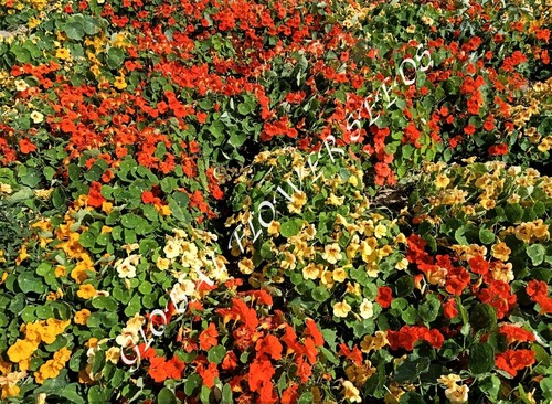Tropaeolum Majus Nanum Semi Jewel Mix