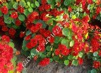 Tropaeolum Majus Nanum Single Fl.tip Top Mahogany Red