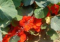 Tropaeolum Majus Nanum Tom Thumb Empress Of India Scarlet