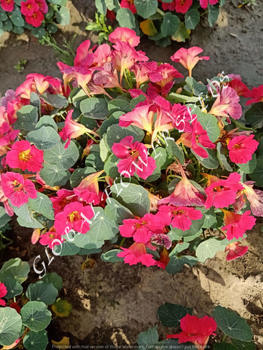 Tropaeolum Majus Nanum Tom Thumb Empress Of India Pink