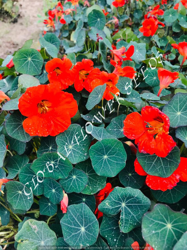 Tropaeolum Majus Nanum Tom Thumb Empress Of India Red