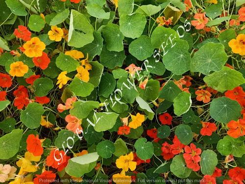 Tropaeolum Majus Semi Double Fl.gleam Hybrids Mix