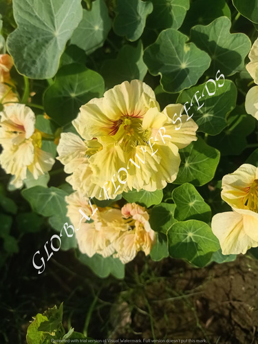 Tropaeolum Majus Semi Double Fl. Gleam Salmon