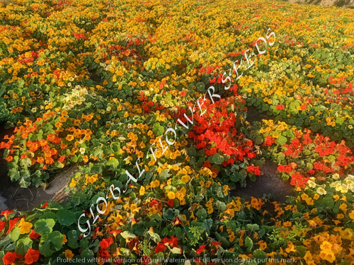 Tropaeolum Majus Single Fl. Jewel Of Africa Mix