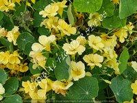 Tropaeolum Majus Single Fl. Moonlight Creamy Yellow