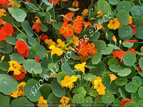 Tropaeolum Nanum Tom Thumb Mix