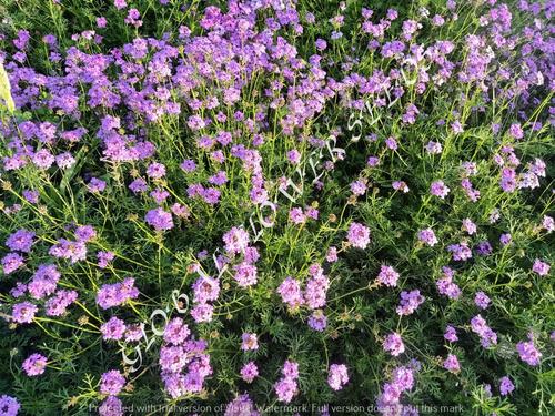 Verbena Tenuisecta Lilac Blue