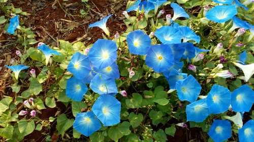 Ipomoea Purpura Blue