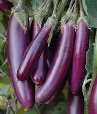 Brinjal Purple Long