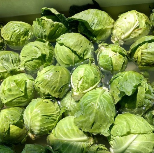 Cabbage F1 Manorma