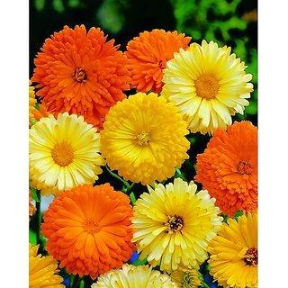 Calendula Officinalis Double Mix
