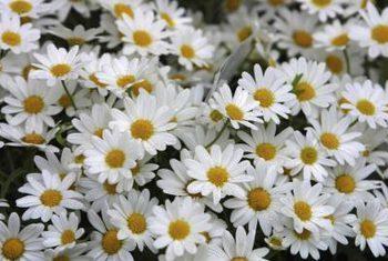 Chrysanthemum Paludosum White