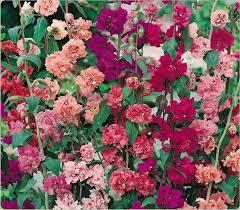 Clarkia Elegans Double Flowered Mix