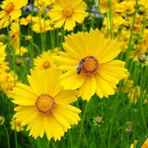 Coreopsis Lanceolata Tall Golden Yellow