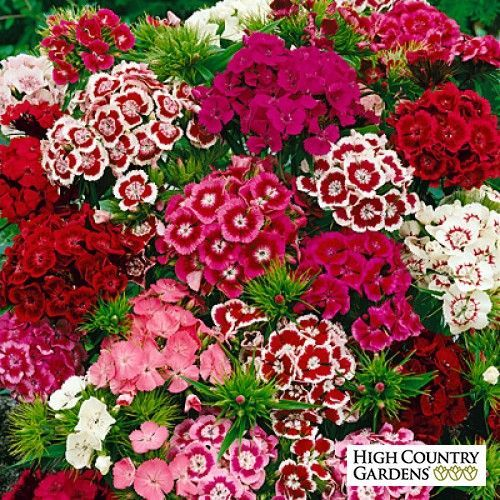 Dianthus Barbads Sweet Willem