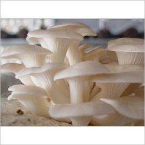 Fresh White Oyster Mushroom