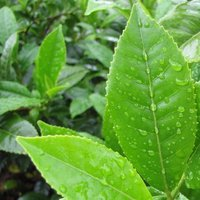 Camellia Sinensis/ Green Tea Extract