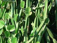 Cissus Quandrangularis/ Hadjor Extract