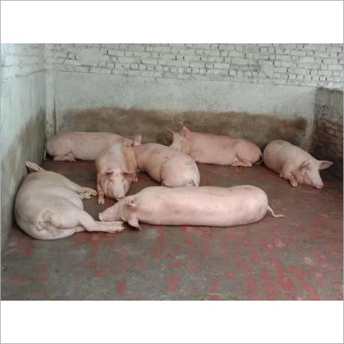 Slottering Pigs