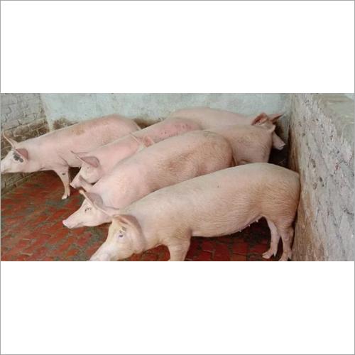 Guilt Pigs