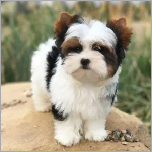 White and Black Hair Yorkie Puppies
