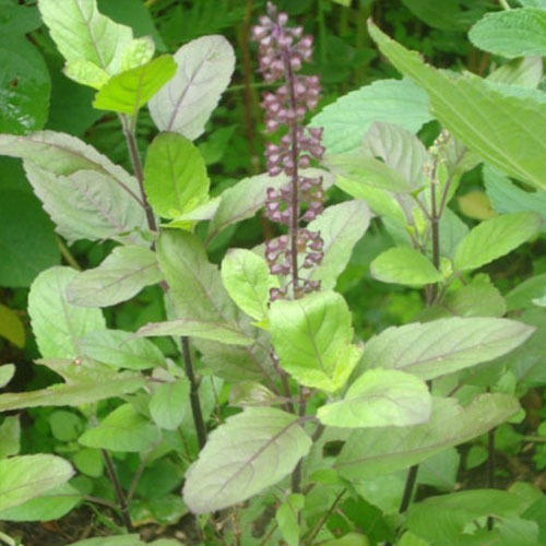 Ocimum Sanctum Extract/ Tulsi Extract/ Holy Basil Extract
