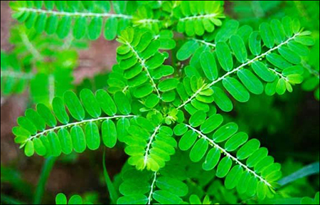 Phyllanthus Niruri/ Bhui Amla
