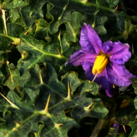 Solanum Xanthocarpum Extract/ Kantakari Extract