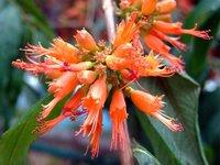 Woodfordia Floribunda/ Dhaiphool/ Dhataki Extract