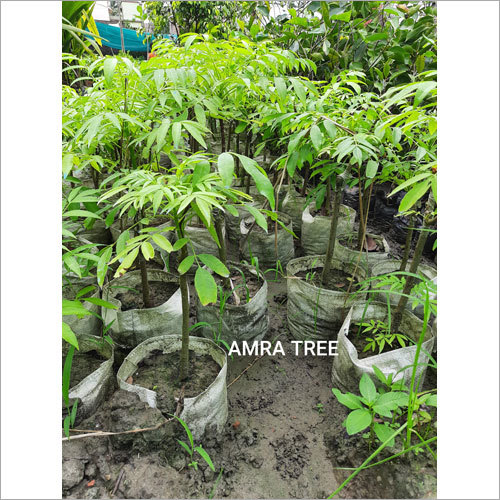 Amra Plant