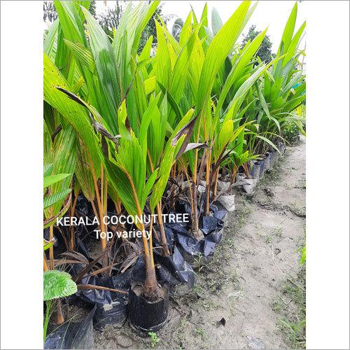 Kerala Coconut Plant