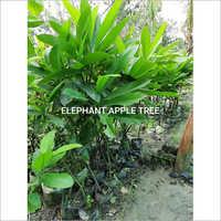 Elephant Apple Plant
