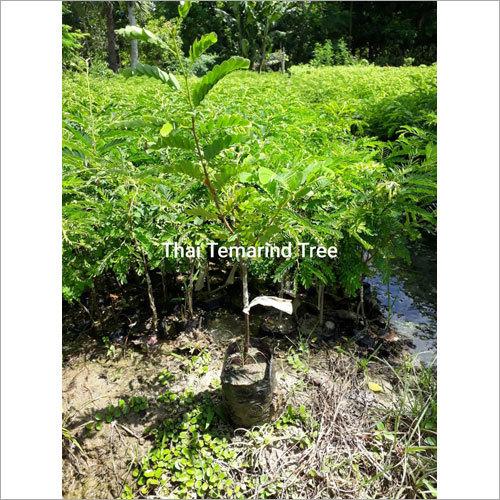 Thai Tamarind plant