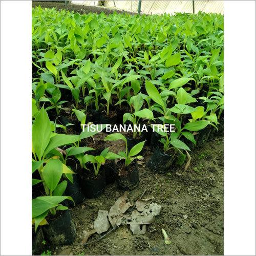 Tissu Banana plant