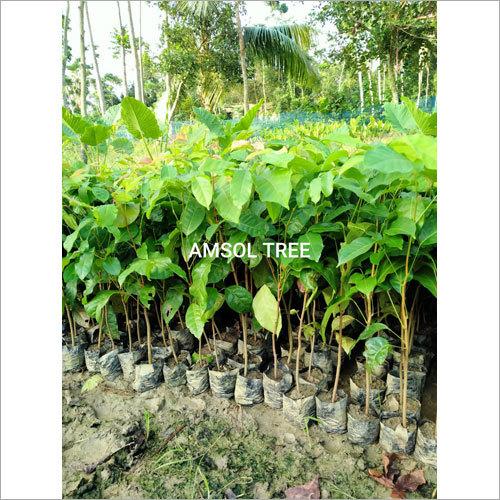 Amsol Plant