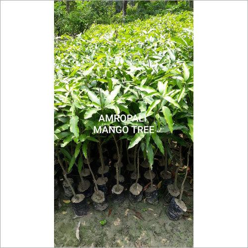 Amropali Mango Plant