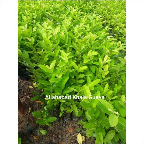 Allahabad Khaja Guava Plant
