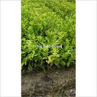 Thai L49 Guava Plant