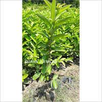 Guava Jui Vilas Plant
