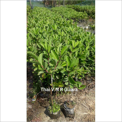 Thai VNR Guava Plant