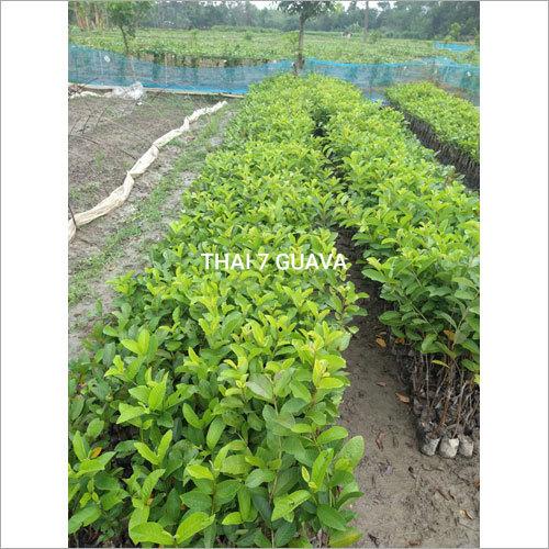 Thai 7 Guava Plant