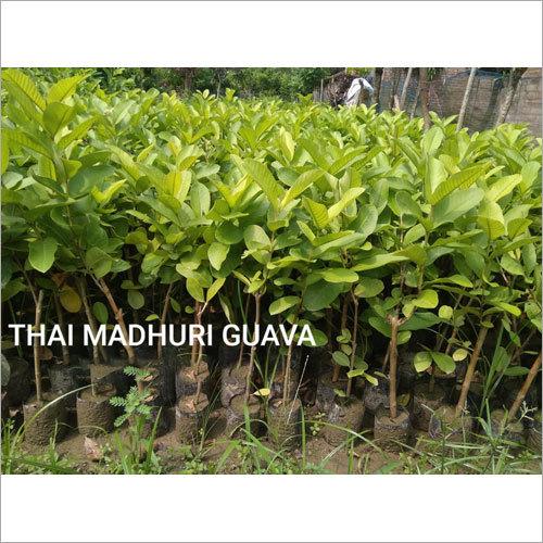 Thai Madhuri Guava Plant
