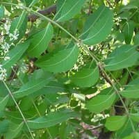 Azadirachta indica/ Neem