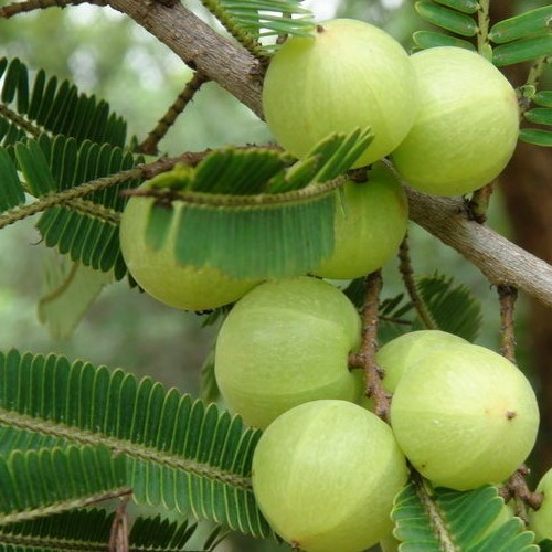 Emblica Officinalis/ Amla/ Indian Gooseberry/ Phyllanthus Emblica