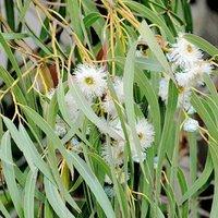 Eucalyptus Globulus/ Neelgiri/ Nilgiri Extract